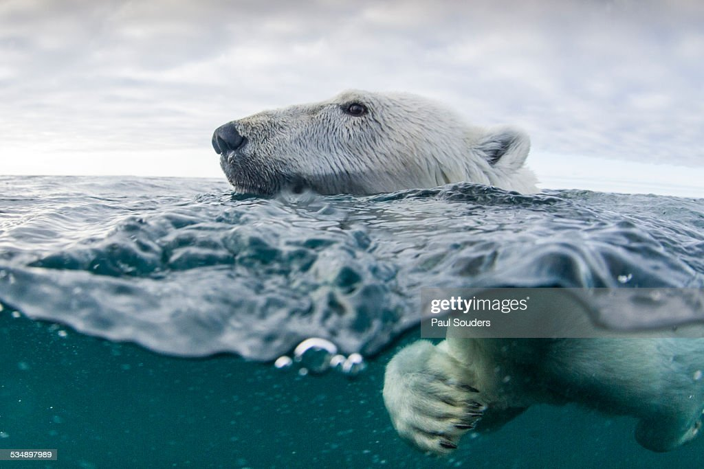 Underwater Polar Bear in Hudson Bay, Canada