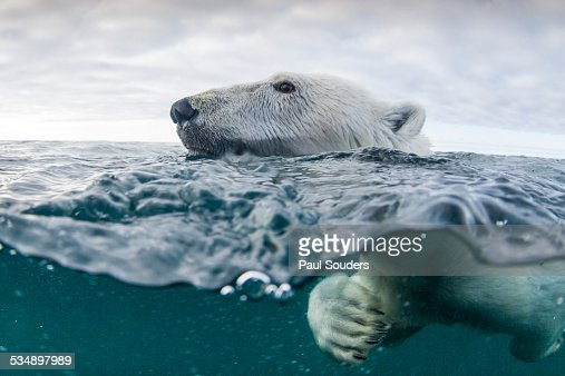 Underwater Polar Bear in Hudson Bay, Canada