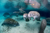 Underwater scene with West Indian Manatee family