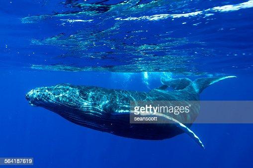 Underwater shot of a humpback whale, Tahiti, French Polynesia