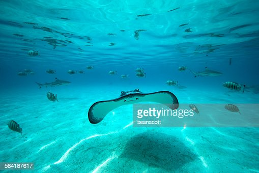 Underwater shot of a stingray, fish and sharks in the background, Tahiti, French Polynesia