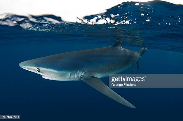 Underwater side view of blue shark, Guadalupe Island, Baja California, Mexico