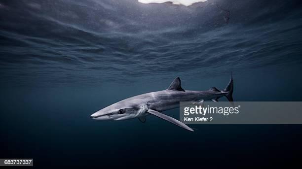 Underwater view of Blue Shark, San Diego, California, USA