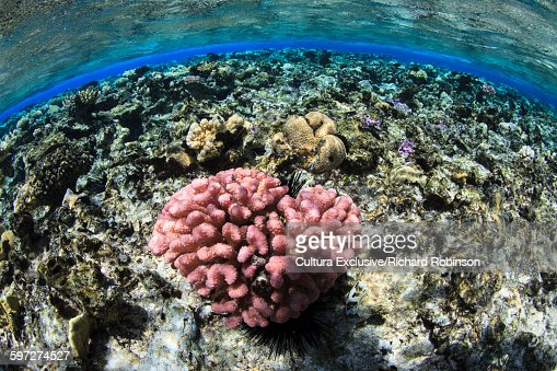 Underwater view of coral head and atoll at Beveridge Reef, Niue, South Pacific