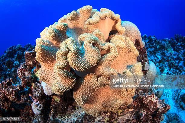 Underwater view of coral head at Beveridge Reef, Niue, South Pacific