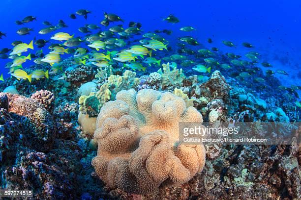 Underwater view of gnathodentex aureolineatus (goldlined emperor) and lutjanus kasmira (bluestriped snapper) school over coral at Beveridge Reef, Niue, South Pacific