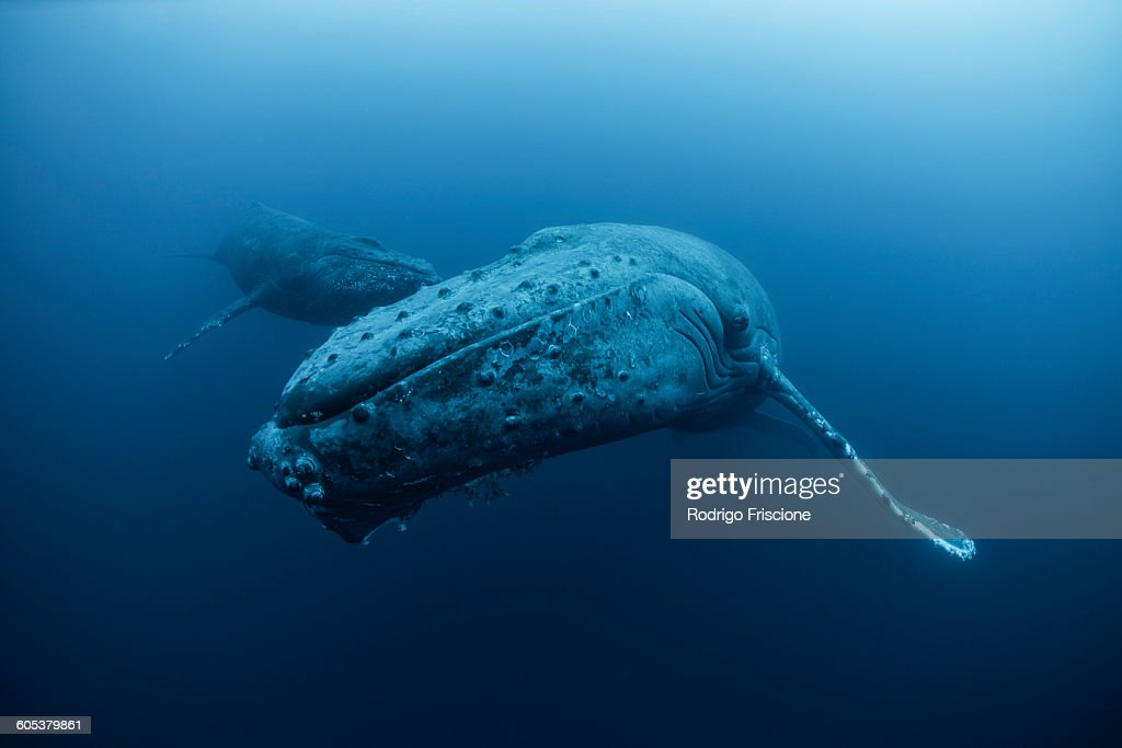 Underwater view of humpback whale, Revillagigedo Islands, Colima, Mexico