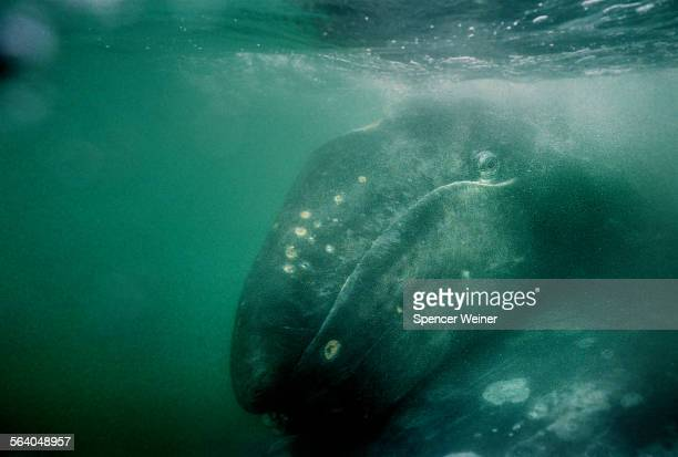 Underwater view of infant Grey Whale resting 'pigyback' on her mother as tourists meet the 40 foot long 35 ton California Grey Whale and her baby...