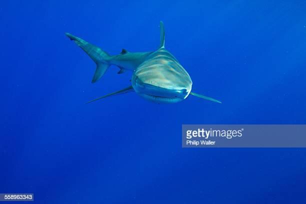 Underwater view of shark swimming in sea, Hawaii, USA
