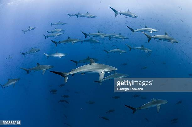 Underwater view of Silky sharks gathering in spring for mating rituals, Roca Partida, Revillagigedo, Mexico