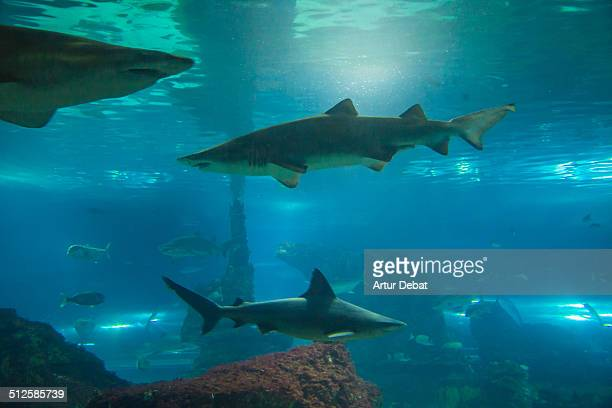 Underwater view of the Barcelona's Aquarium scene with shark in big pool
