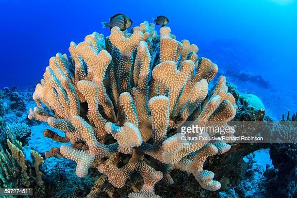 Underwater view of two stripe damselfish hiding in a coral head at Beveridge Reef, Niue, South Pacific