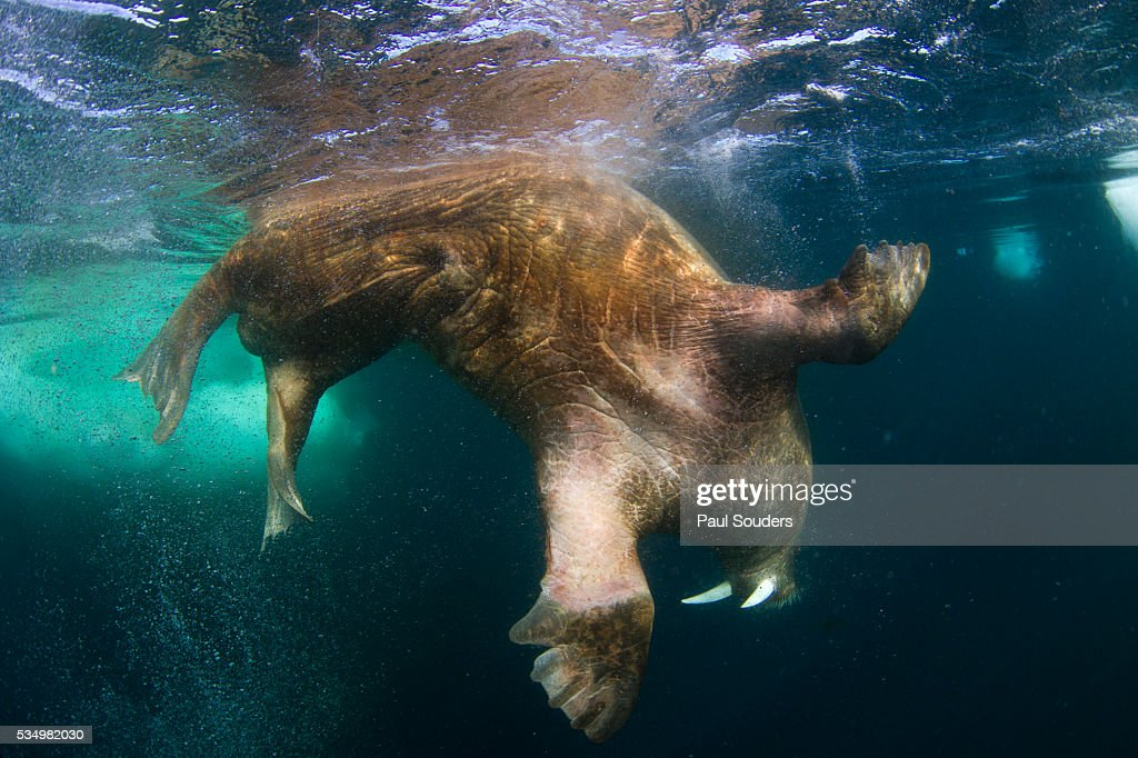Canada, Nunavut Territory, Underwater view of Walrus (Odobenus rosmarus) dives from sea surface beneath sea ice in Frozen Strait on Hudson Bay. Photograph by Paul Souders.