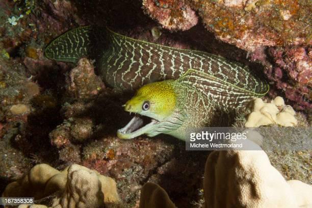 Undulated eel, Hawaii.
