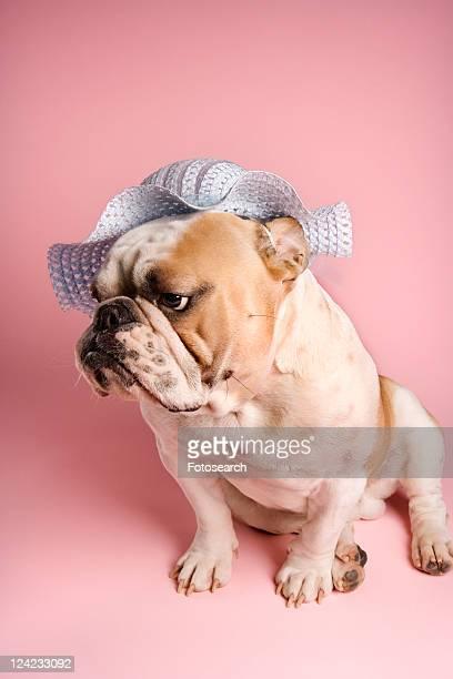 Unenthusiastic English Bulldog on pink background wearing a bonnet.