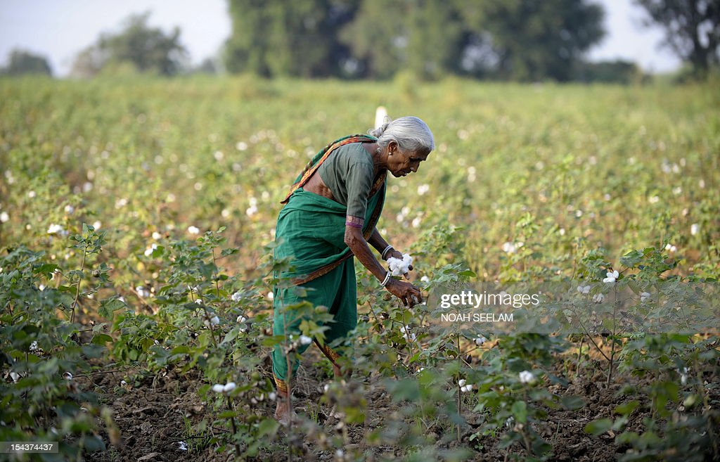 UN-environment-biodiversity-agriculture-India-cotton,FOCUS by Mariette le Roux An Indian labourer plucks cotton from bushes in fields of Warangal District, some 170kms north-east of Hyderabad on October 18, 2012. When Indian icon Mahatma Gandhi took up the baton for home-grown cotton a century ago, he may not have realised the devastating impact its cultivation would have on the land he so loved. Cotton is a thirsty plant and parts of India drought-prone. But the intensive farming process for cotton leaches the soil and requires high pesticide and fertiliser use that pollutes further downstream. AFP PHOTO/Noah SEELAM