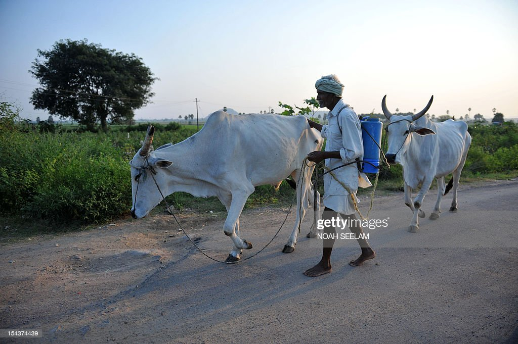 UN-environment-biodiversity-agriculture-India-cotton,FOCUS by Mariette le Roux An Indian farmer leads a pair of oxen past cotton fields of Warangal District, some 170kms north-east of Hyderabad on October 18, 2012. When Indian icon Mahatma Gandhi took up the baton for home-grown cotton a century ago, he may not have realised the devastating impact its cultivation would have on the land he so loved. Cotton is a thirsty plant and parts of India drought-prone. But the intensive farming process for cotton leaches the soil and requires high pesticide and fertiliser use that pollutes further downstream. AFP PHOTO/Noah SEELAM