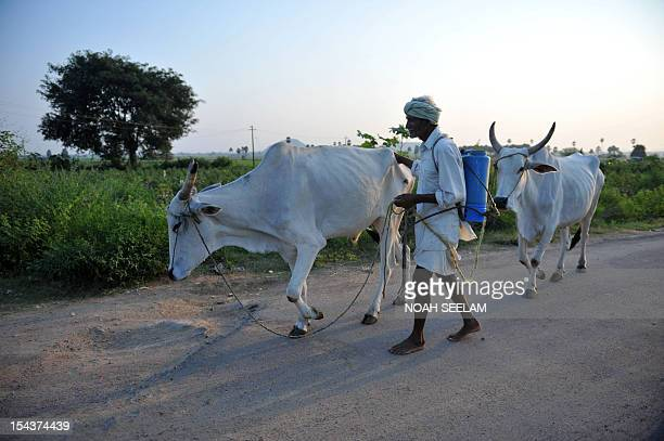 UNenvironmentbiodiversityagricultureIndiacottonFOCUS by Mariette le Roux An Indian farmer leads a pair of oxen past cotton fields of Warangal...