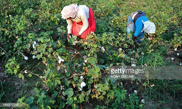UNenvironmentbiodiversitylead by Mariette Le Roux Indian labourers pluck cotton from bushes in fields of Warangal District some 170kms northeast of...