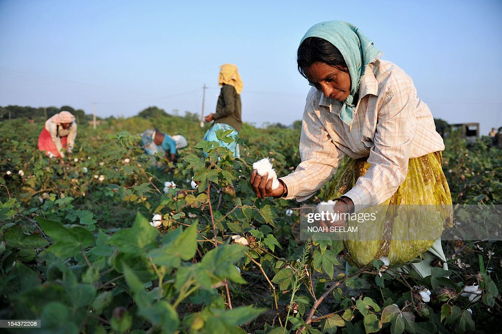 UN-environment-biodiversity,lead by Mariette Le Roux Indian labourers pluck cotton from bushes in fields of Warangal District, some 170kms north-east of Hyderabad on October 18, 2012. Negotiators were struggling on October 19, 2012, to persuade wealthy nations to bankroll ambitious targets for stemming the loss of Earth's dwindling natural resources. Just days after 400 plants and animals were added to a 'Red List' of species at risk of extinction, ministers from more than 80 countries are set to conclude UN biodiversity negotiations in the southern Indian city of Hyderabad. UN countries agreed at a conference in Japan in 2010 to reverse by 2020 the worrying decline in natural resources that humans depend on for food, shelter and livelihoods. AFP PHOTO/Noah SEELAM