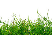 uneven green grass isolated on white background