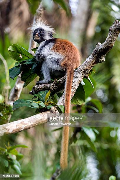 A Zanzibar Red Colobus clutching a pile of leaves in a Coral Rag Forest.