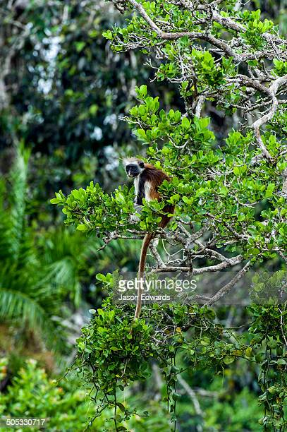 An endangered Zanzibar Red Colobus resting in the canopy of a Coral Rag Forest.