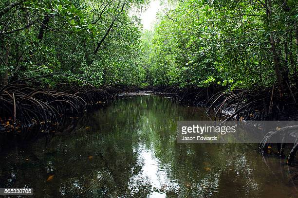 Mangrove trees crowd a tidal river that drains the flooded swamp forest at low tide.