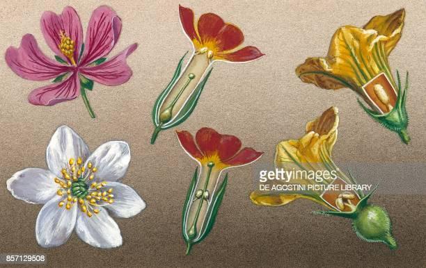 Malva Anemone bisexual flowers Primula pumpkin drawing