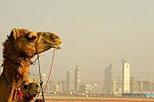 Dubai Camel Racecourse.