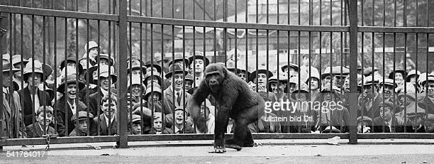 United Kingdom England London Zoo visitors in front of the gorilla cage Published by 'Berliner Illustrirte Zeitung' 37/1925Foto KeystoneVintage...