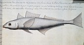 Unknown fish Strait of Magellan watercolour from the log book by Jacques Gouin de Beauchesne captain of the Compagnie royale de la Mer du Sud from...