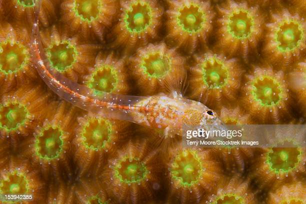 Unknown gobie/ blenny found at 48 feet deep, Bonaire, Caribbean Netherlands.