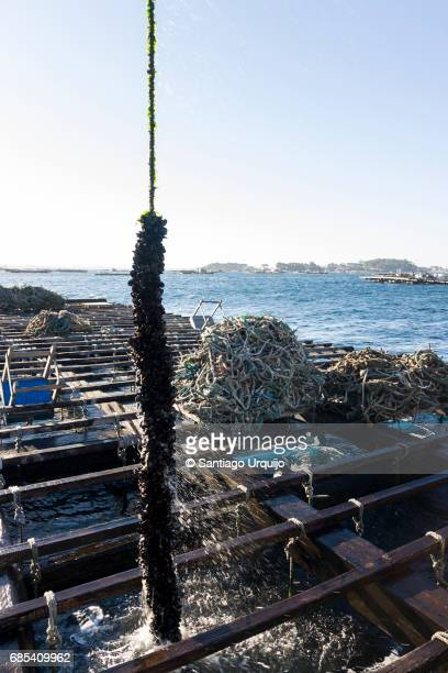 Unloading ropes lined with mussels