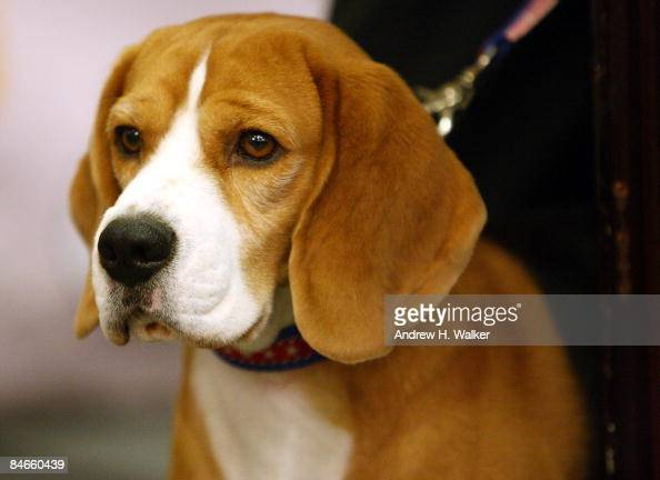 Uno a Beagle the 2008 Best in Show winner stands at the Westminster Dog Show preevent press conference at the Hotel Pennsylvania's Skytop Ballroom on...