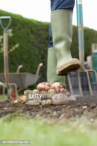 Unrecognizable person digging with pitchfork, low section, stack of potatoes in foreground : Stock Photo