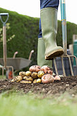 Unrecognizable person digging with pitchfork, low section, stack of potatoes in foreground