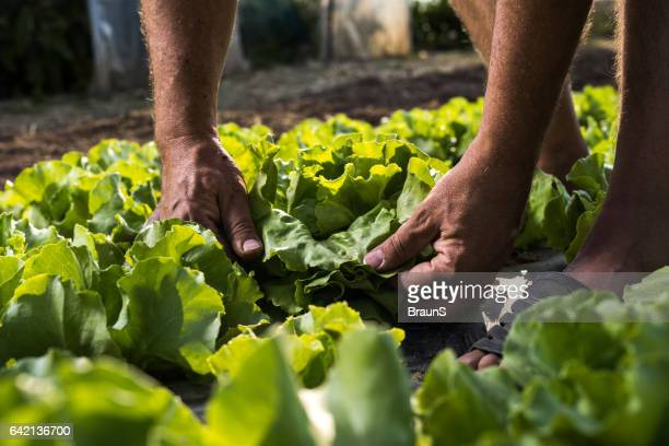 Unrecognizable person picking butter head lettuce from vegetable garden.