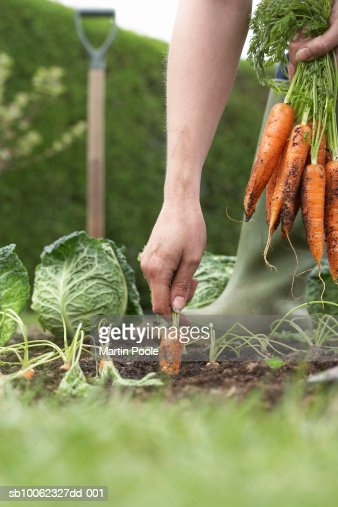 Unrecognizable person picking carrots on field, close-up, low section : Stock Photo