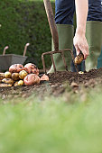 Unrecognizable person planting potatoes in field, low section