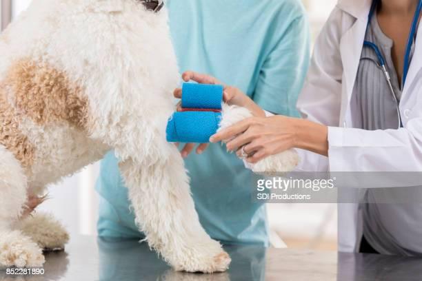 Unrecognizable vet wraps dog's injured leg