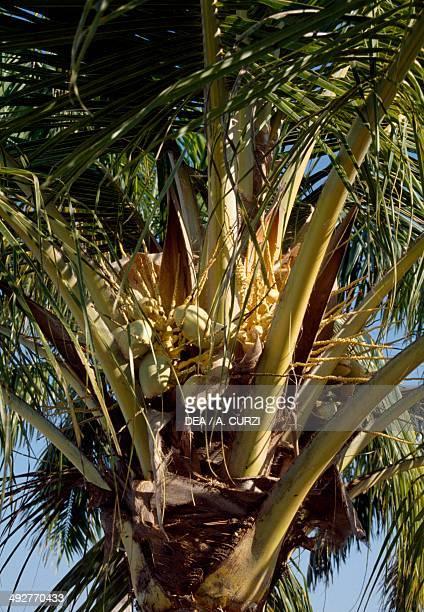 Unripe fruits of Coconut Palm Arecaceae