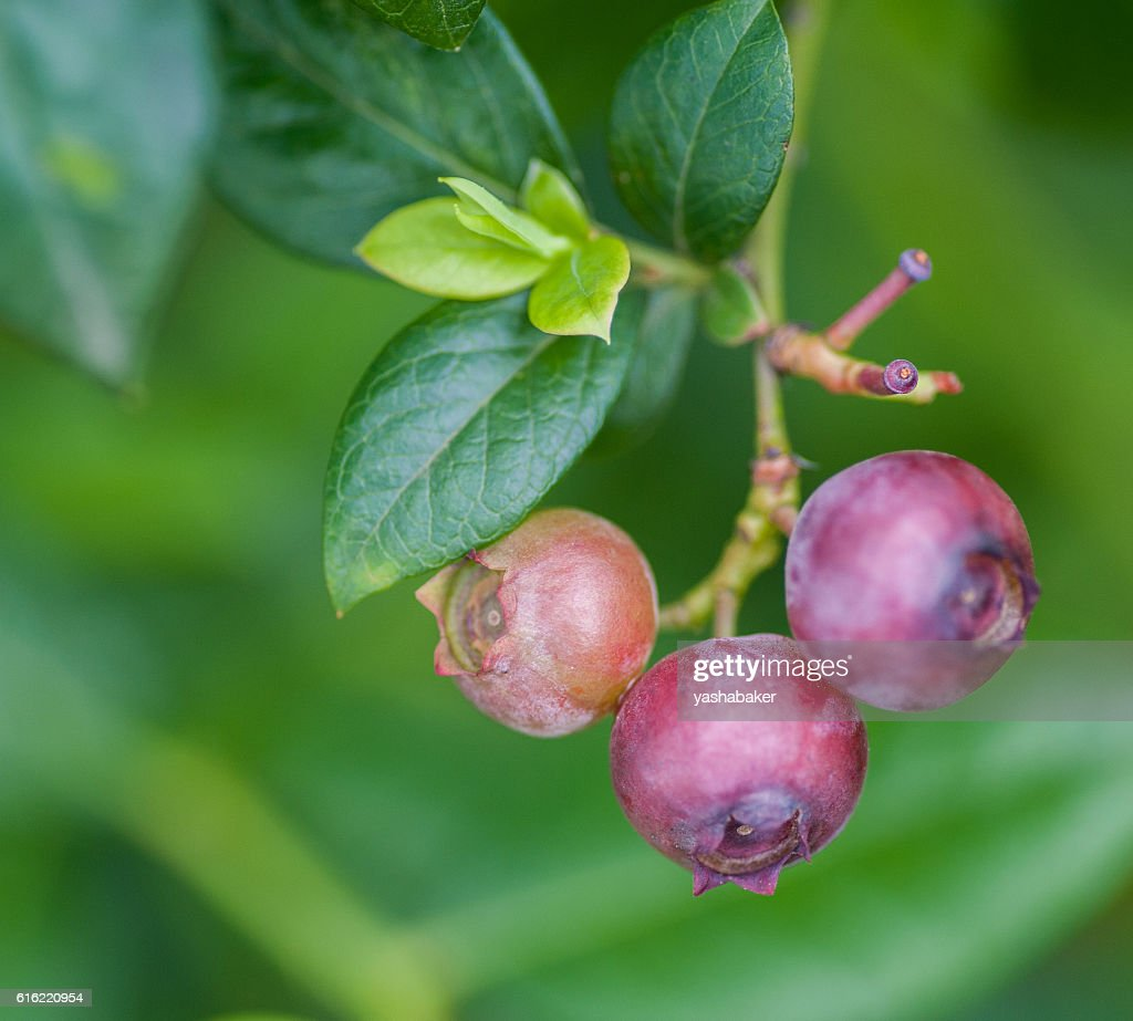 Unripe red and pink blueberries outdoors : Stock Photo