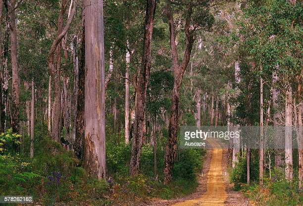 Unsealed road winding through forest of Karri and Jarrah trees Eucalyptus diversicolor and Eucalyptus marginata Shannon National Park Western...