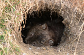 Unseen action in Wildlife during the day for Wombat, in Tasmania, Australia