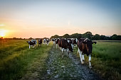 Cattle heading home at sunset