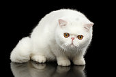 Unusual Pure White Exotic Cat with Big Red Eyes on Isolated Black Background, Front view, Curious fascinated Looking up