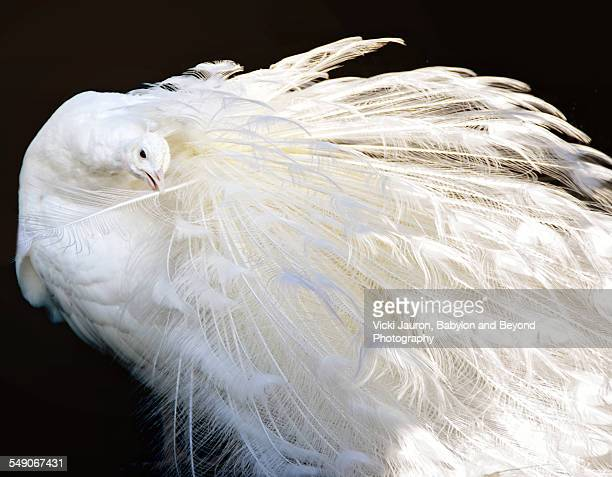 Unusual white peacock preening against black