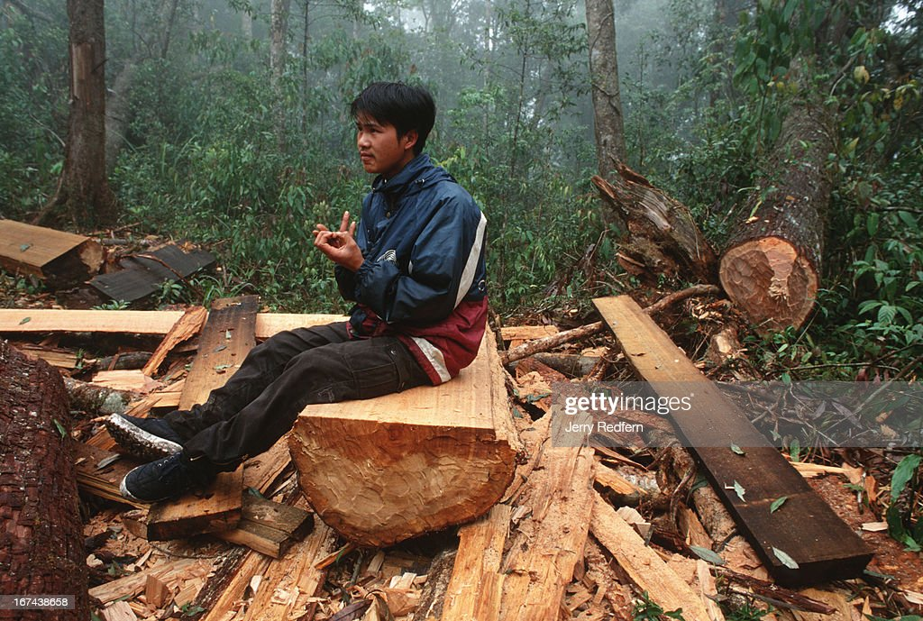 Uoc Duc, who claims to be one of Sapa's best mountain guides, gets a sliver shile examining a massive sandalwood log in the Hoang Lien Son Nature Reserve. Hmong men cut the tree and haul the wood out of the forest to sell to Vietnamese middlemen or Chinese traders. Logging is illegal in the Hoang Lien Son Nature Reserve, but a slab of rare sandalwood can fetch $20-$100, as much as a Hmong family can make in a year of rice farming..