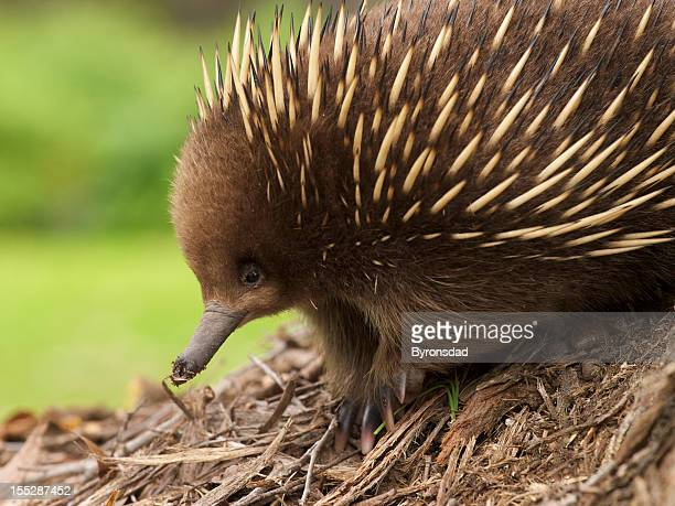 Up close photo of Australian Echidna's face